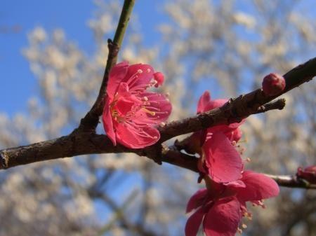 春うらら梅2