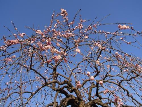 春うらら梅1