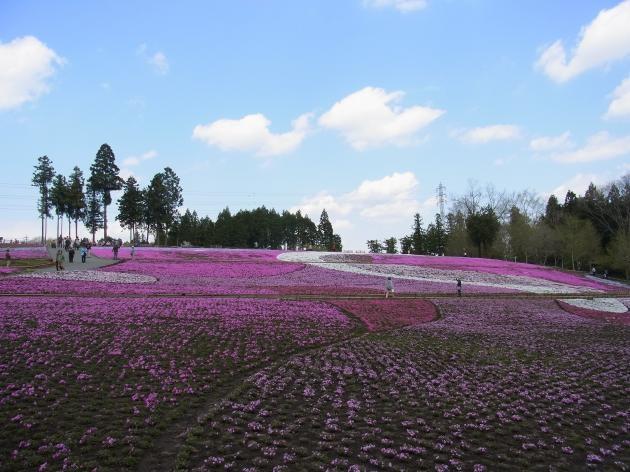 芝桜全景縮小