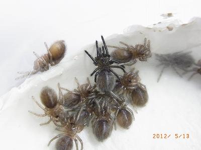 20120513Haplopelma lividum01