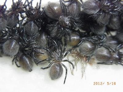 Haplopelma lividum2012051605