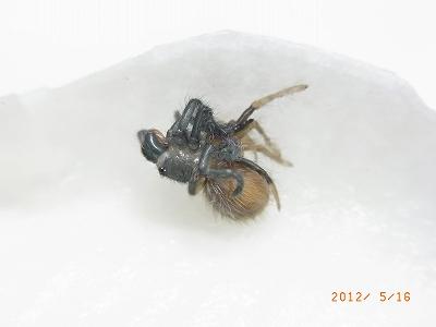 Haplopelma lividum2012051602