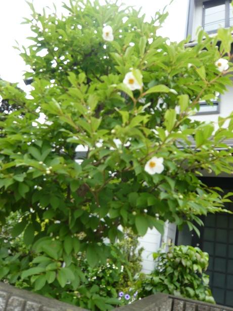 沙羅双樹の花