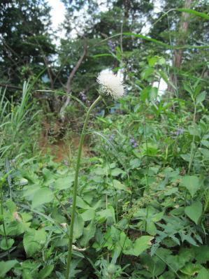 白いアザミ、高尾8月