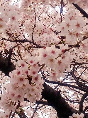 sakura (300x400)