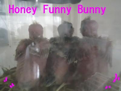 Honey Funny Bunny