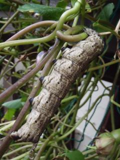 クロメンガタスズメの幼虫