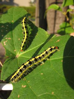 フタトガリアオイガの幼虫