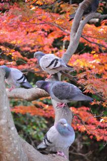 岡崎 東公園 紅葉 鳩の生る木