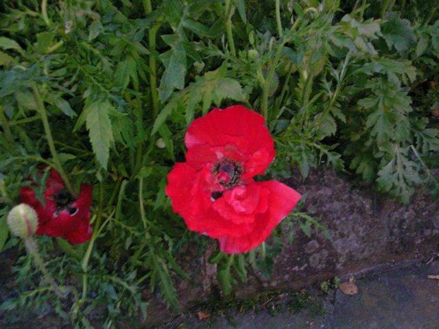 赤いケシの花