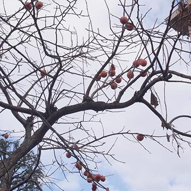 表参道団地の柿の木 (C)日々是表参道 おもさんぽ表参道ある日の歩記散歩日記