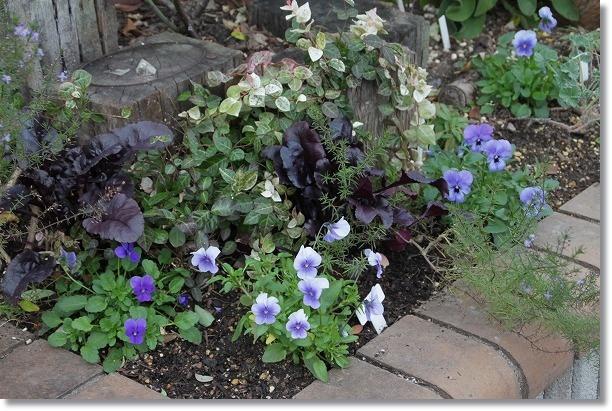 花壇 ビオラ&ビーツ