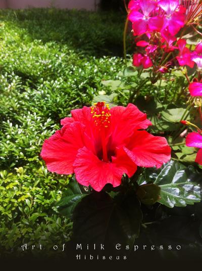 Hibiscus120627.jpg