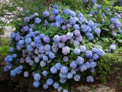 大横川親水公園の紫陽花④