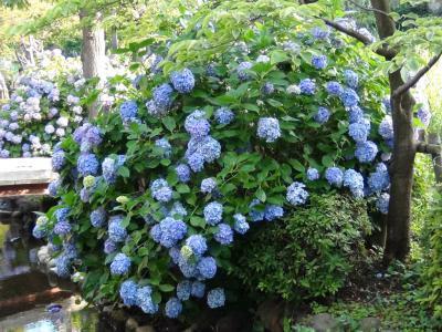 大横川親水公園の紫陽花③