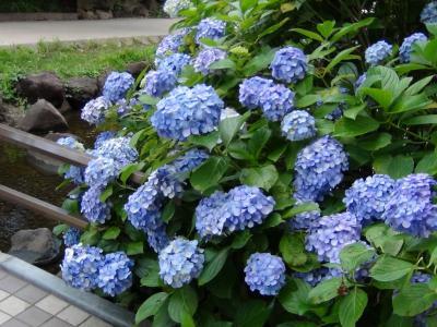 大横川親水公園の紫陽花①