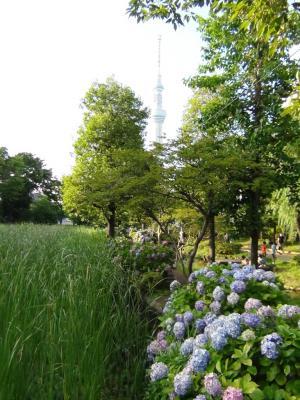 大横川親水公園の紫陽花と東京スカイツリー