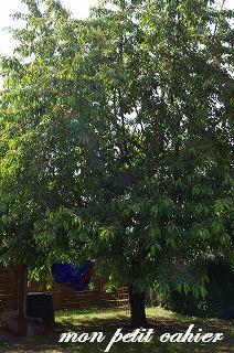 さくらんぼの収穫1