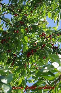 さくらんぼの収穫2