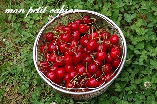 さくらんぼの収穫4