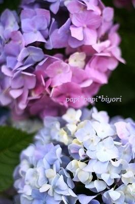 紫陽花★2012