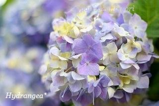 Hydrangea★