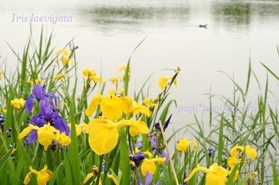 Iris laevigata★