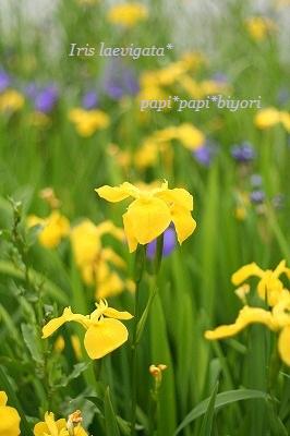Iris laevigata☆