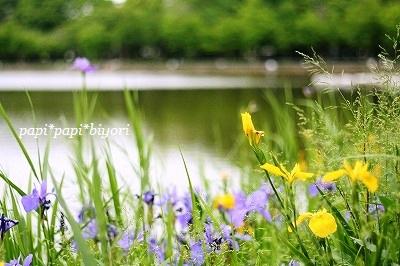 Iris laevigata♪