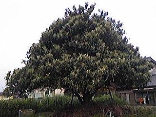 120425幕山のびわの木