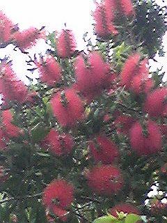 120530カリステモン。ブラシの木