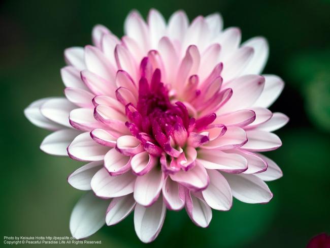 白とルビー色の菊 開花