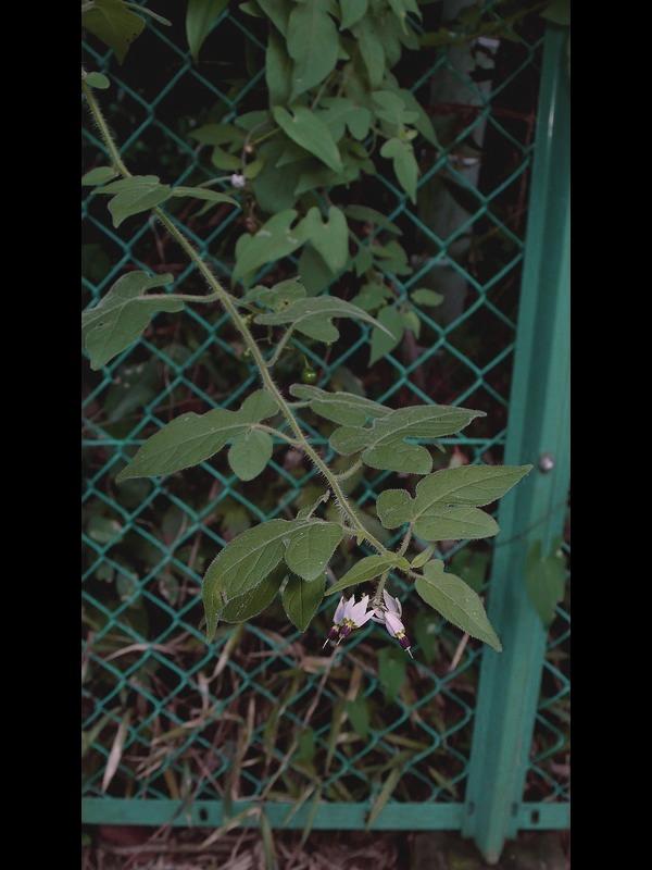 ムラサキヒヨドリジョウゴ 枝ぶり