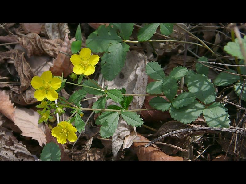 ミツバツチグリ 花序