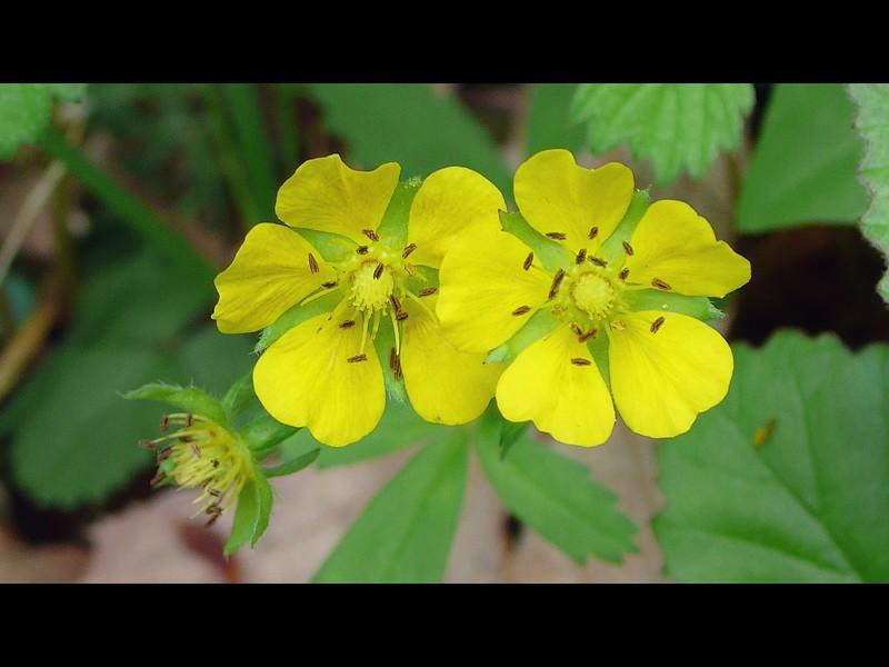 ミツバツチグリ 花
