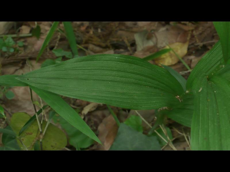 キンラン 普通の葉