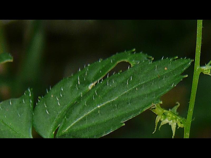 アマチャヅル 葉の毛