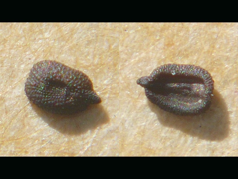 ミチバタナデシコ 種子