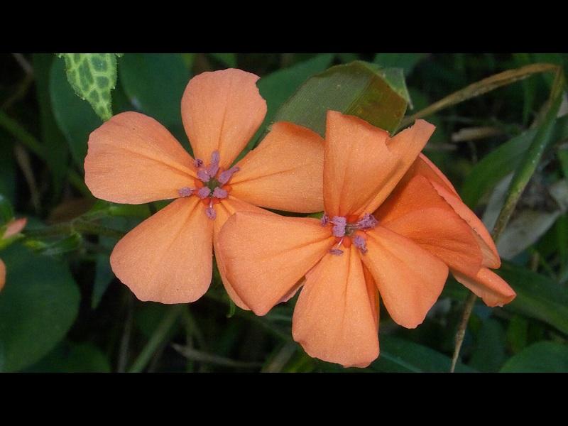 フシグロセンノウ 花