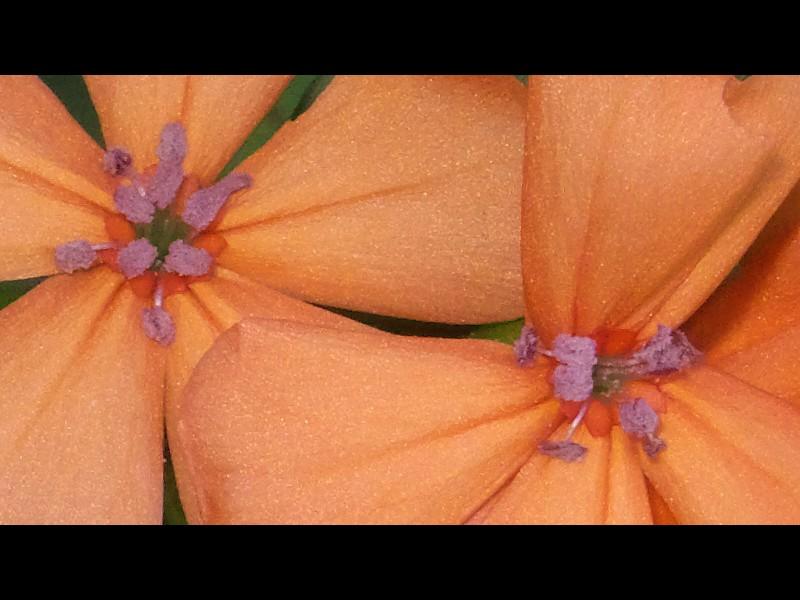 フシグロセンノウ 花の拡大