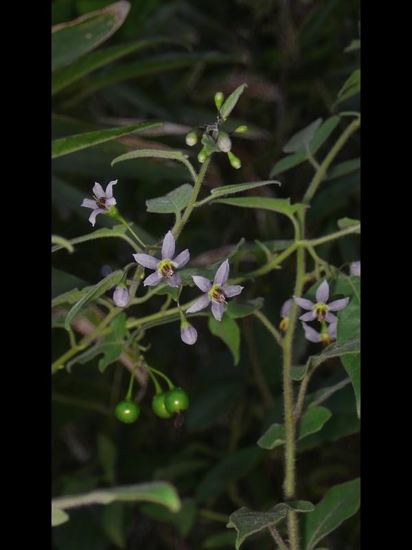 ムラサキヒヨドリジョウゴ 花