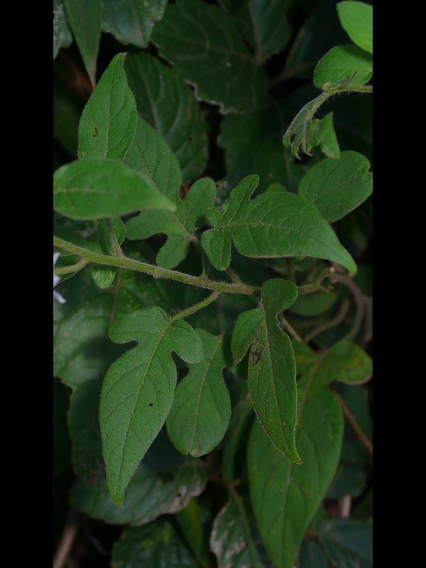 ムラサキヒヨドリジョウゴ 葉