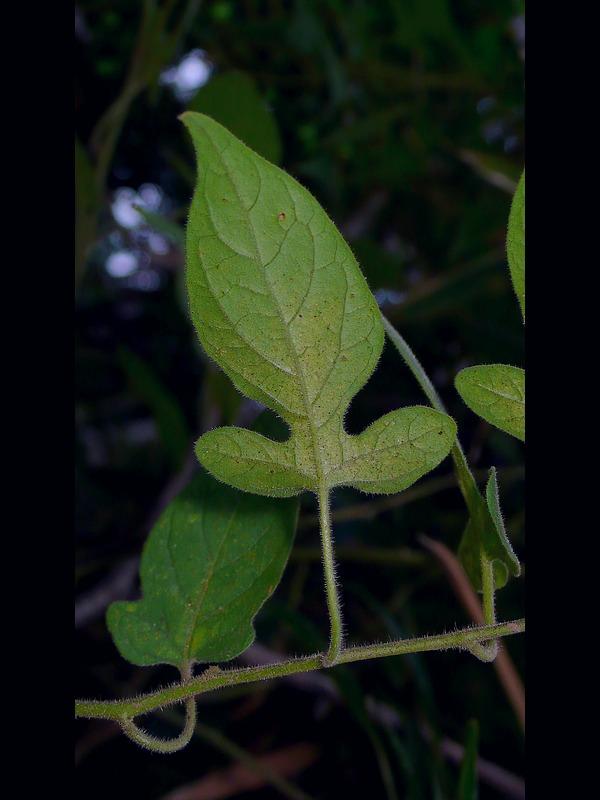 ムラサキヒヨドリジョウゴ 葉裏