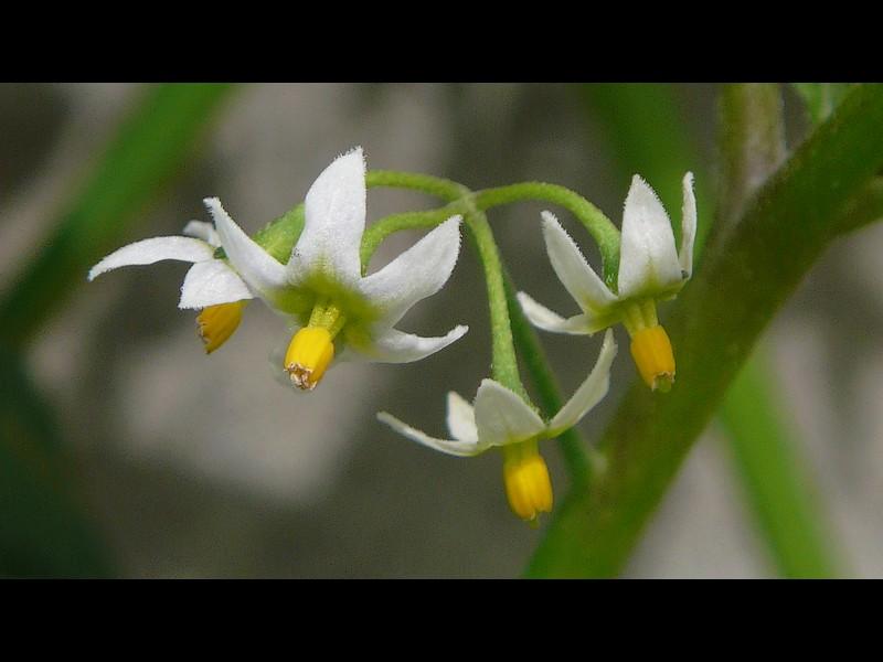 アメリカイヌホオズキ 花
