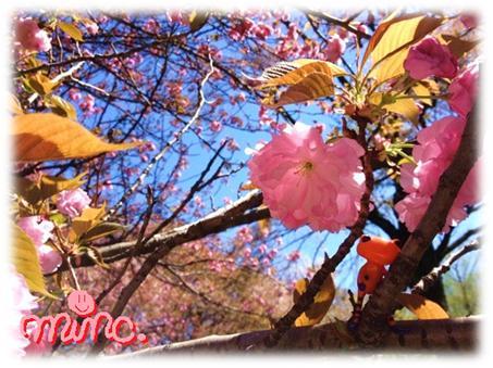 桜とキロライン