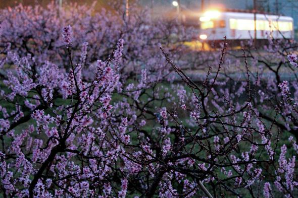 (2013/4/1 和歌山電鐵貴志川線 大池遊園)