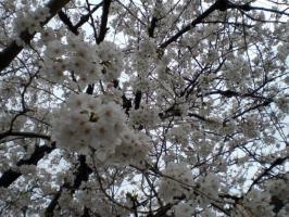 甲子園 桜