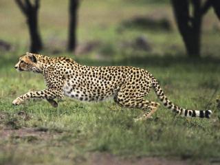 cheetah_img01-l[1]_1