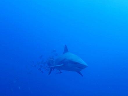 タオ島 ダイビング bull shark サメ セイルロック