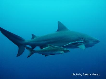 タオ島 ダイビング セイルロック ブルシャーク